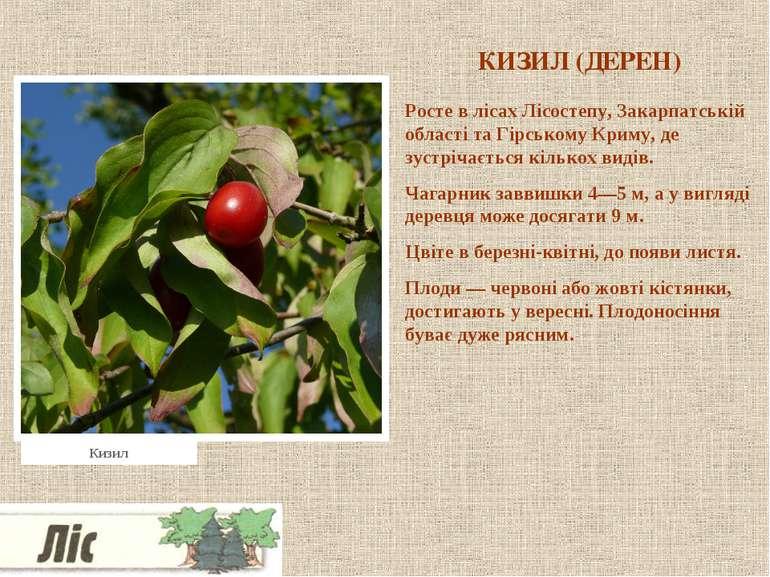 КИЗИЛ (ДЕРЕН) Росте в лісах Лісостепу, Закарпатській області та Гірському Кри...