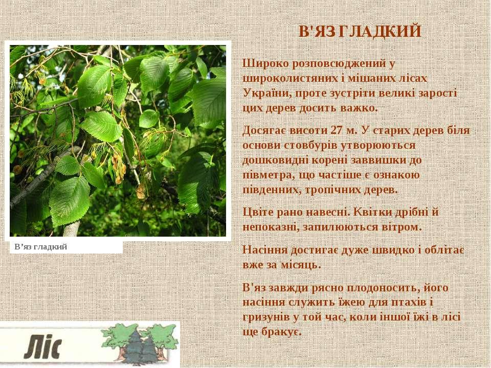 В'ЯЗ ГЛАДКИЙ Широко розповсюджений у широколистяних і мішаних лісах України, ...