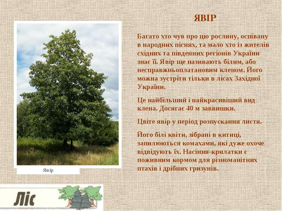 ЯВІР Багато хто чув про цю рослину, оспівану в народних піснях, та мало хто і...