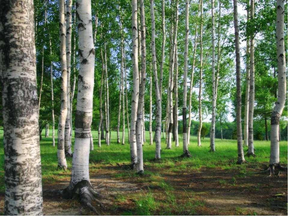 Кущі та дерева, що ростуть в лісах України