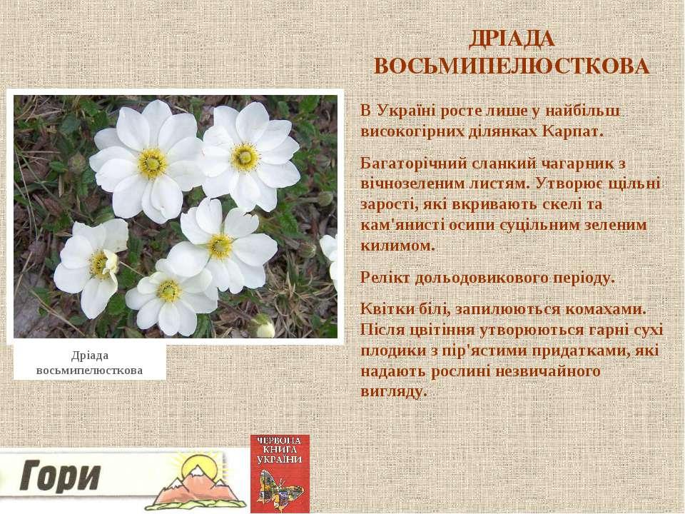 ДРІАДА ВОСЬМИПЕЛЮСТКОВА В Україні росте лише у найбільш високогірних ділянках...