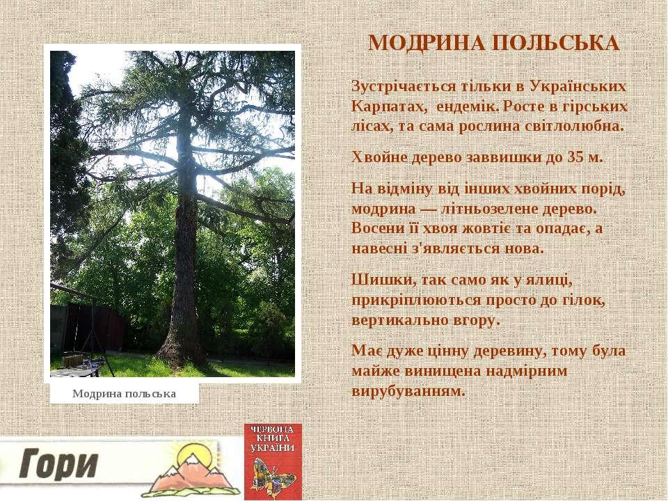 МОДРИНА ПОЛЬСЬКА Зустрічається тільки в Українських Карпатах, ендемік. Росте ...