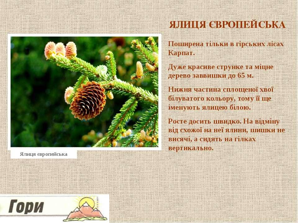 ЯЛИЦЯ ЄВРОПЕЙСЬКА Поширена тільки в гірських лісах Карпат. Дуже красиве струн...