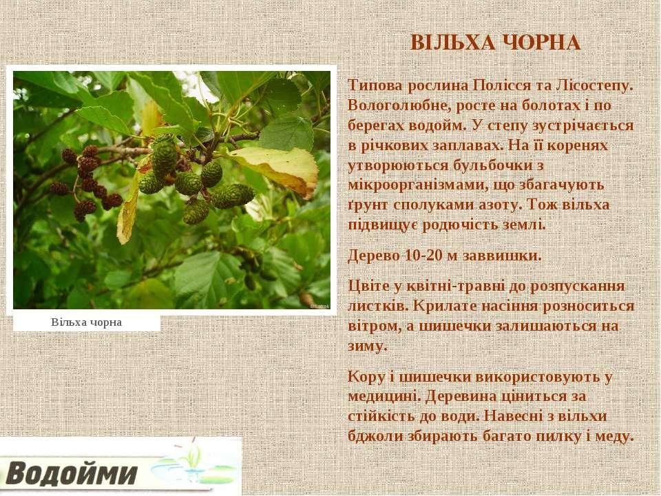 ВІЛЬХА ЧОРНА Типова рослина Полісся та Лісостепу. Вологолюбне, росте на болот...