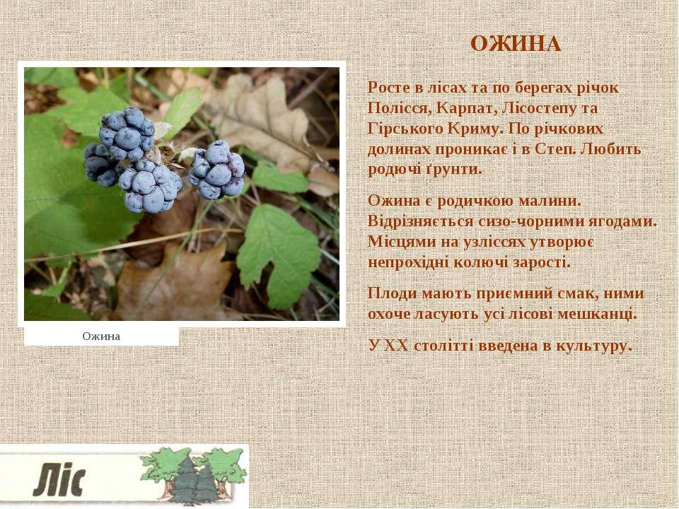 ОЖИНА Росте в лісах та по берегах річок Полісся, Карпат, Лісостепу та Гірсько...
