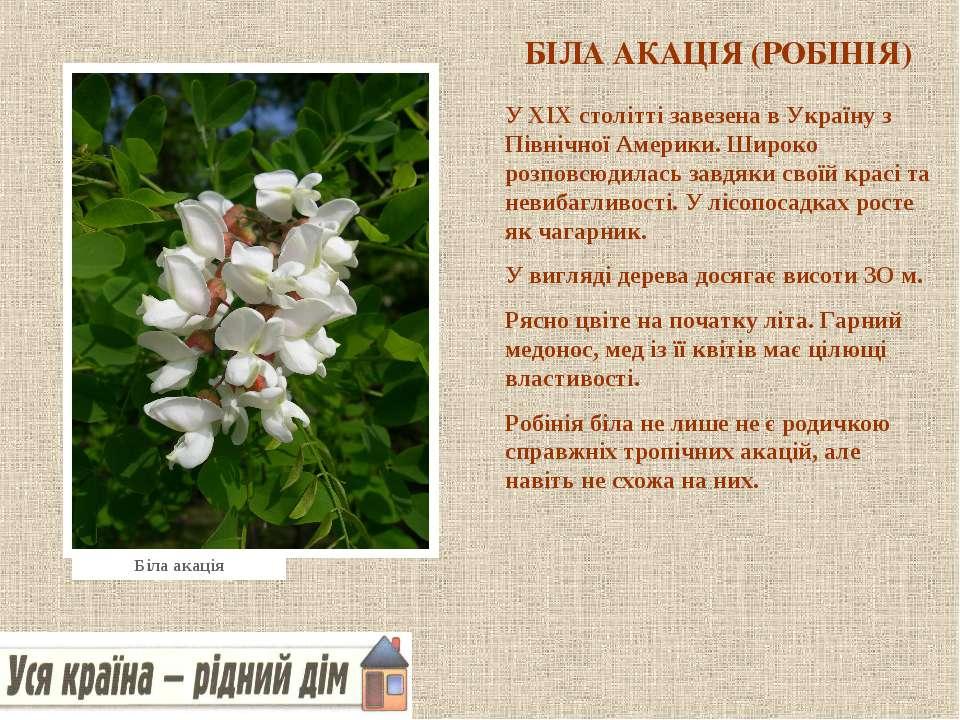 БІЛА АКАЦІЯ (РОБІНІЯ) У XIX столітті завезена в Україну з Північної Америки. ...