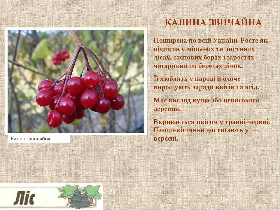 КАЛИНА ЗВИЧАЙНА Поширена по всій Україні. Росте як підлісок у мішаних та лист...