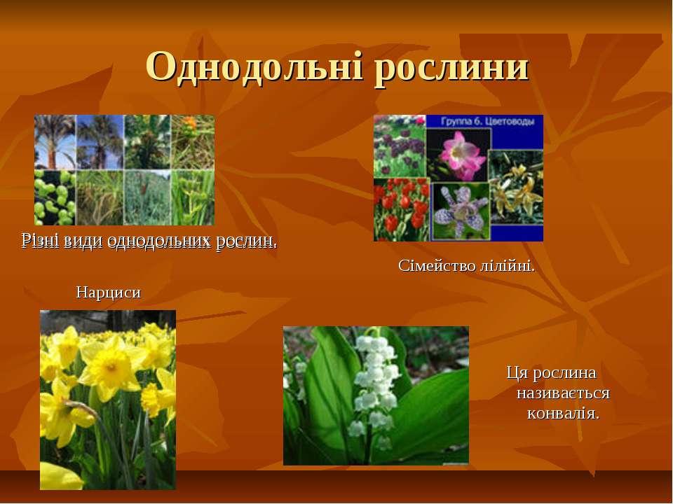 Однодольні рослини Різні види однодольних рослин. Сімейство лілійні. Різні ви...