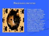 Видільна система Нирки у ссавців тазові. Тулубові нирки у ссавців є ембріонал...