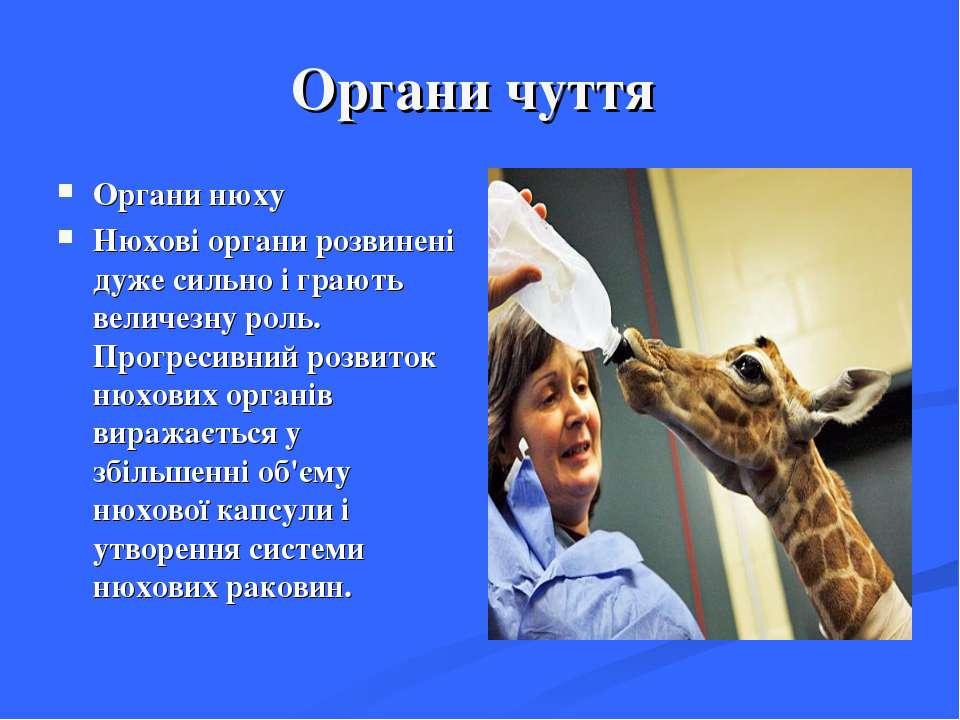 Органи чуття Органи нюху Нюхові органи розвинені дуже сильно і грають величез...