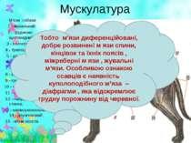 Мускулатура М'язи собаки: 1 - жувальний; 2 - грудннно-щитовидний; 3 - плечего...