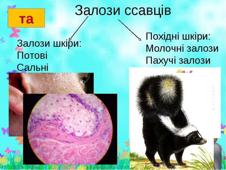 Залози ссавців та Залози шкіри: Потові Сальні Похідні шкіри: Молочні залози П...