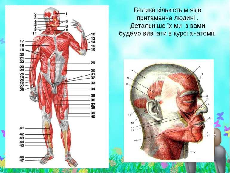 Велика кількість м язів притаманна людині . Детальніше їх ми з вами будемо ви...