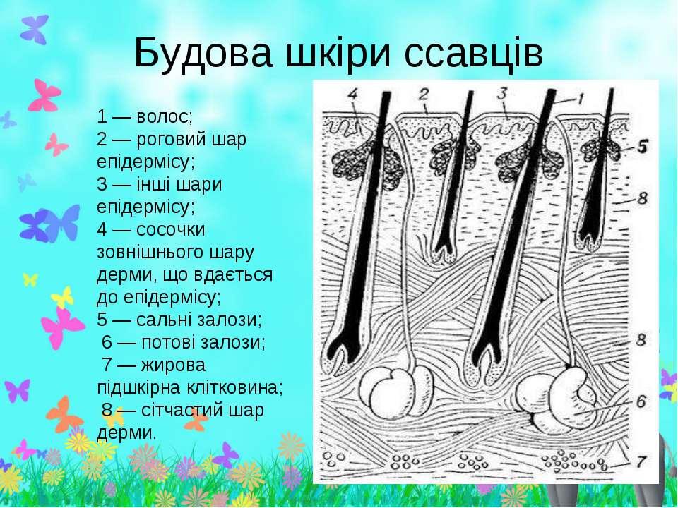 Будова шкіри ссавців 1 — волос; 2 — роговий шар епідермісу; 3 — інші шари епі...
