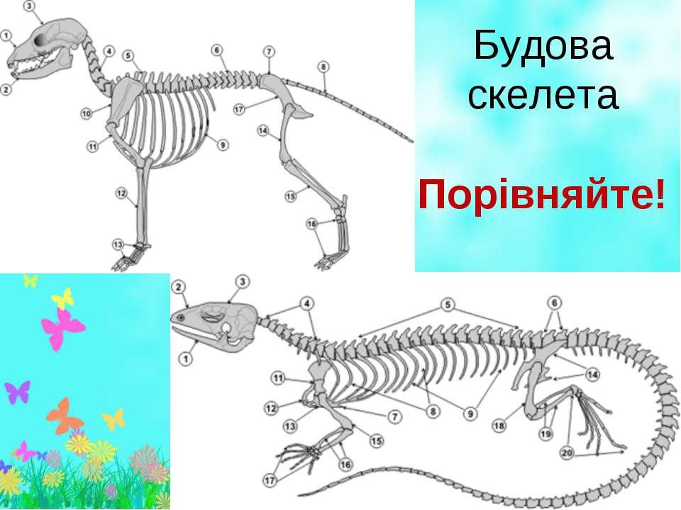 Будова скелета Порівняйте!