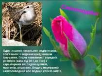 Сивкоподібні Один з самих чисельних рядів птахів, пов'язаних з воднимсередови...