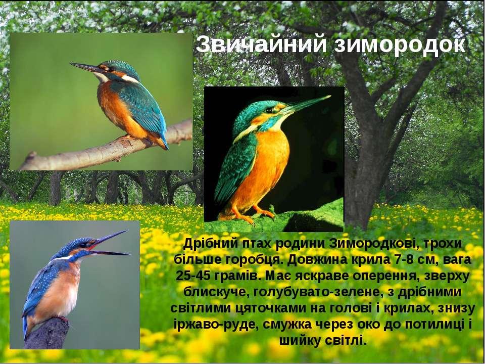 Звичайний зимородок Дрібний птах родини Зимородкові, трохи більше горобця. До...