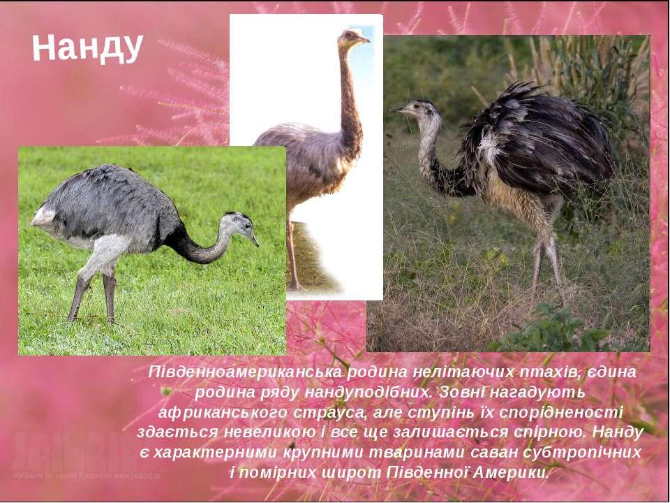 Нанду Південноамериканська родина нелітаючих птахів, єдина родина ряду нандуп...