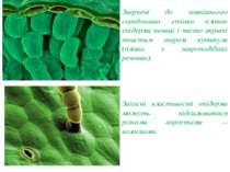 Звернені до зовнішнього середовища стінки клітин епідерми товщі і часто вкрит...
