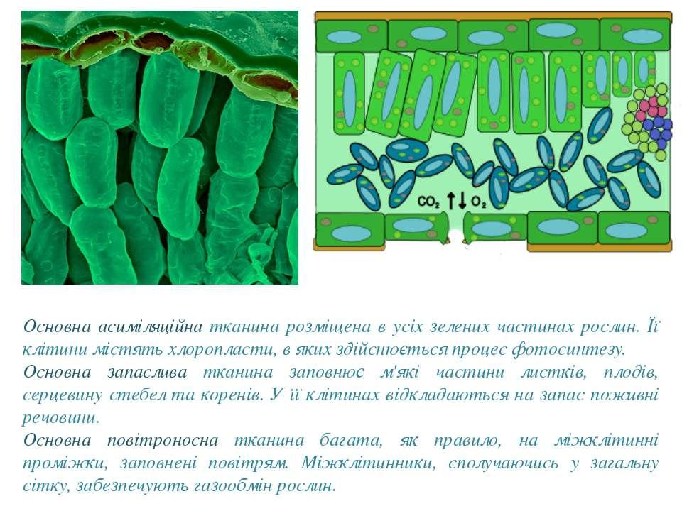 Основна асиміляційна тканина розміщена в усіх зелених частинах рослин. Її клі...