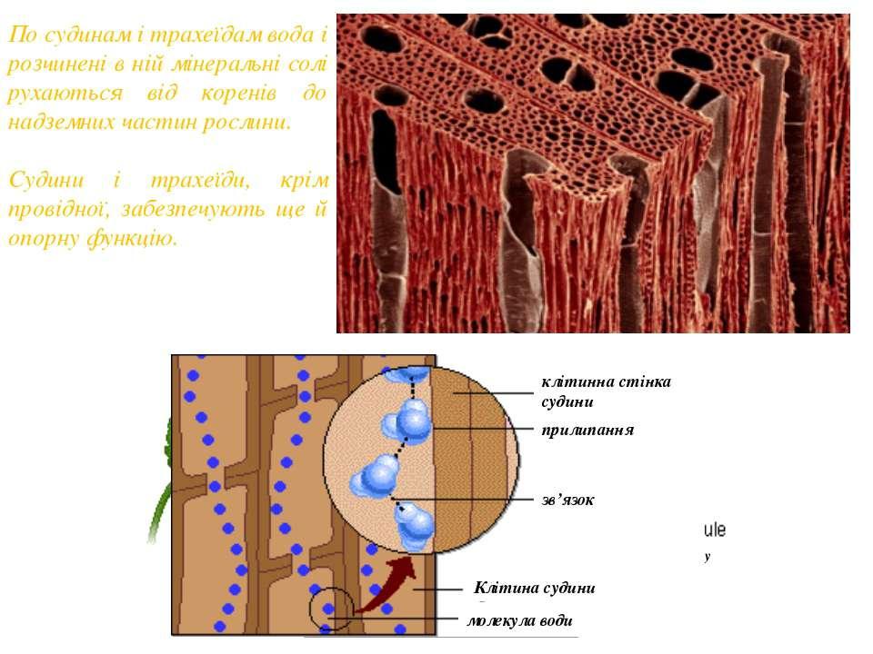 По судинам і трахеїдам вода і розчинені в ній мінеральні солі рухаються від к...
