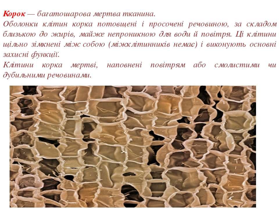 Корок — багатошарова мертва тканина. Оболонки клітин корка потовщені і просоч...