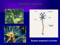 Нервова тканина Будова нервової клітини