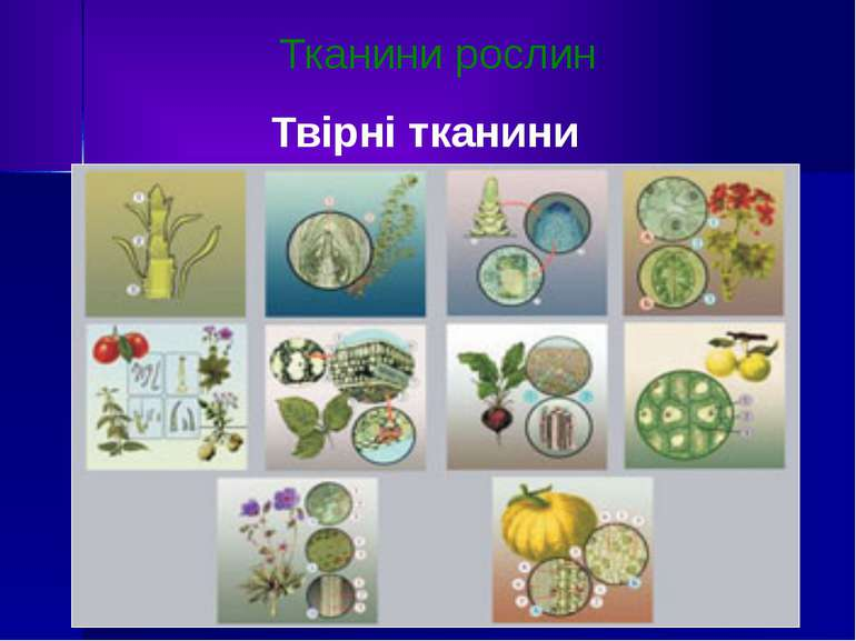 Тканини рослин Твірні тканини