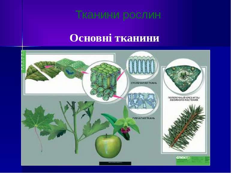 Тканини рослин Основні тканини