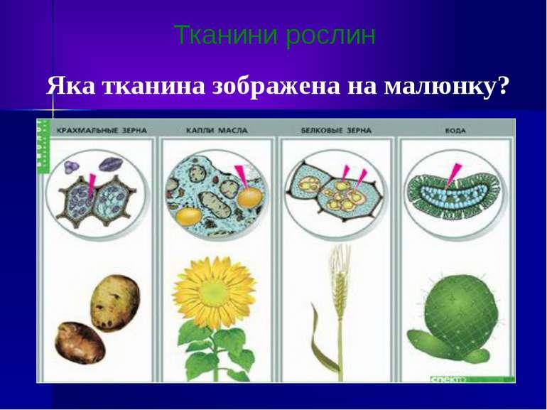 Тканини рослин Яка тканина зображена на малюнку?