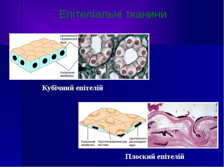 Кубічний епітелій Плоский епітелій Епітеліальні тканини