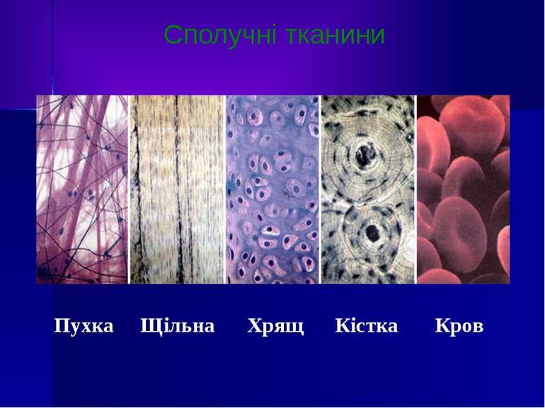Сполучні тканини Пухка Щільна Хрящ Кістка Кров