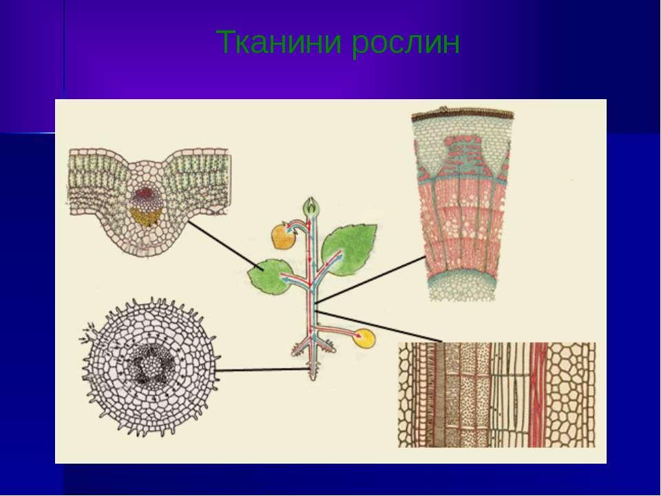 Тканини рослин