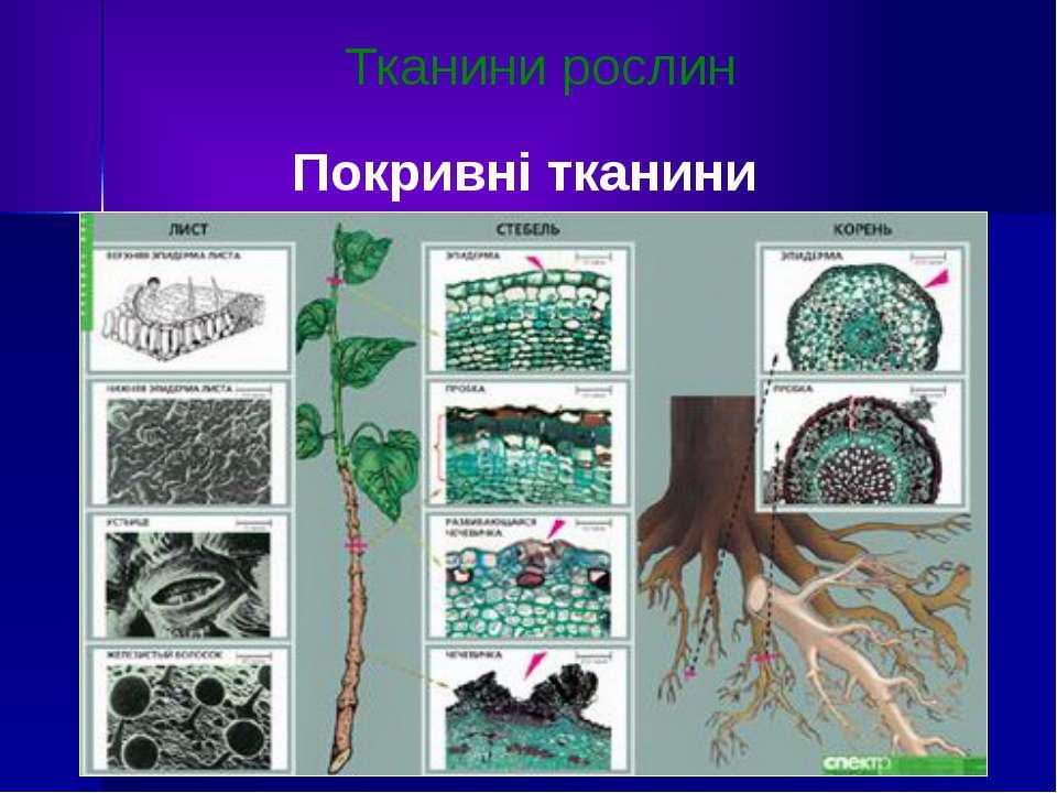 Тканини рослин Покривні тканини