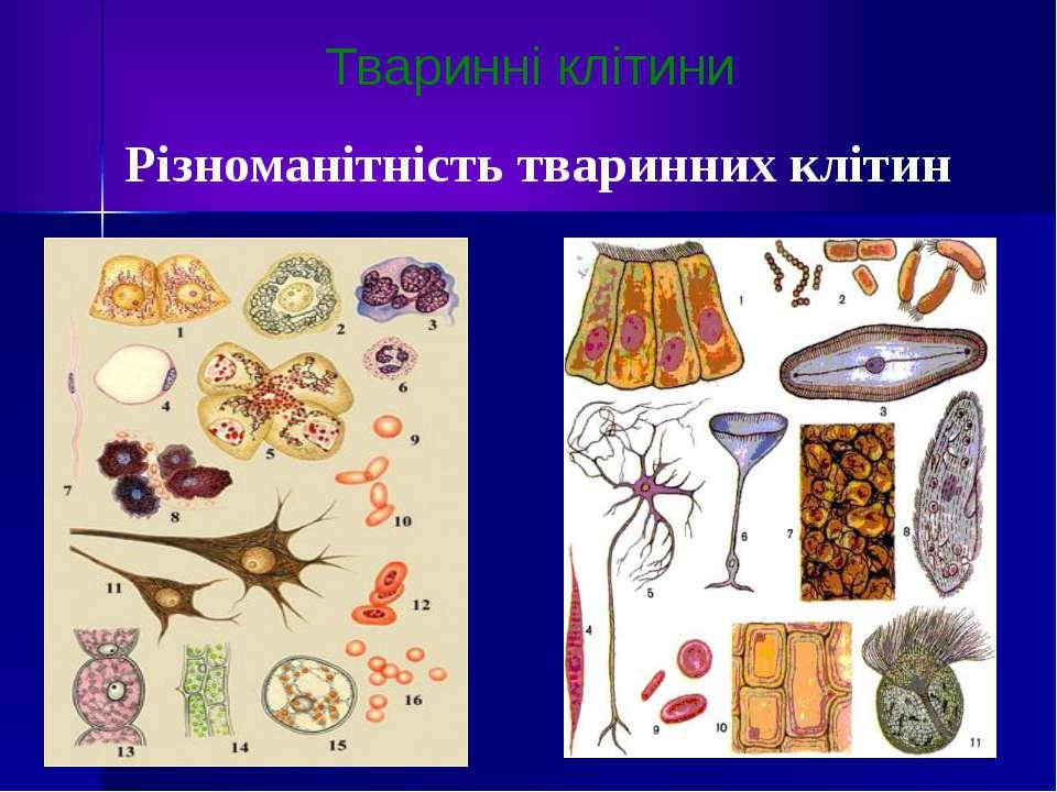 Тваринні клітини Різноманітність тваринних клітин