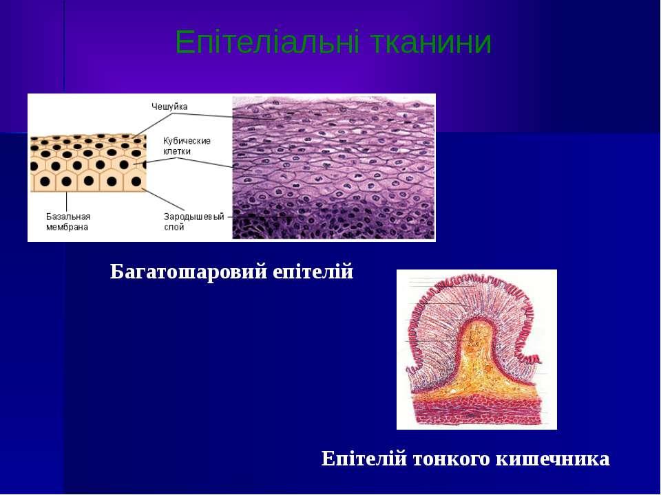 Багатошаровий епітелій Епітеліальні тканини Епітелій тонкого кишечника