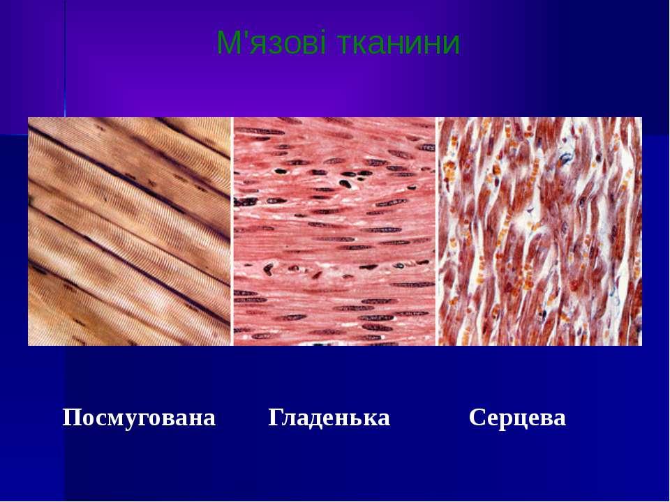 М'язові тканини Посмугована Гладенька Серцева