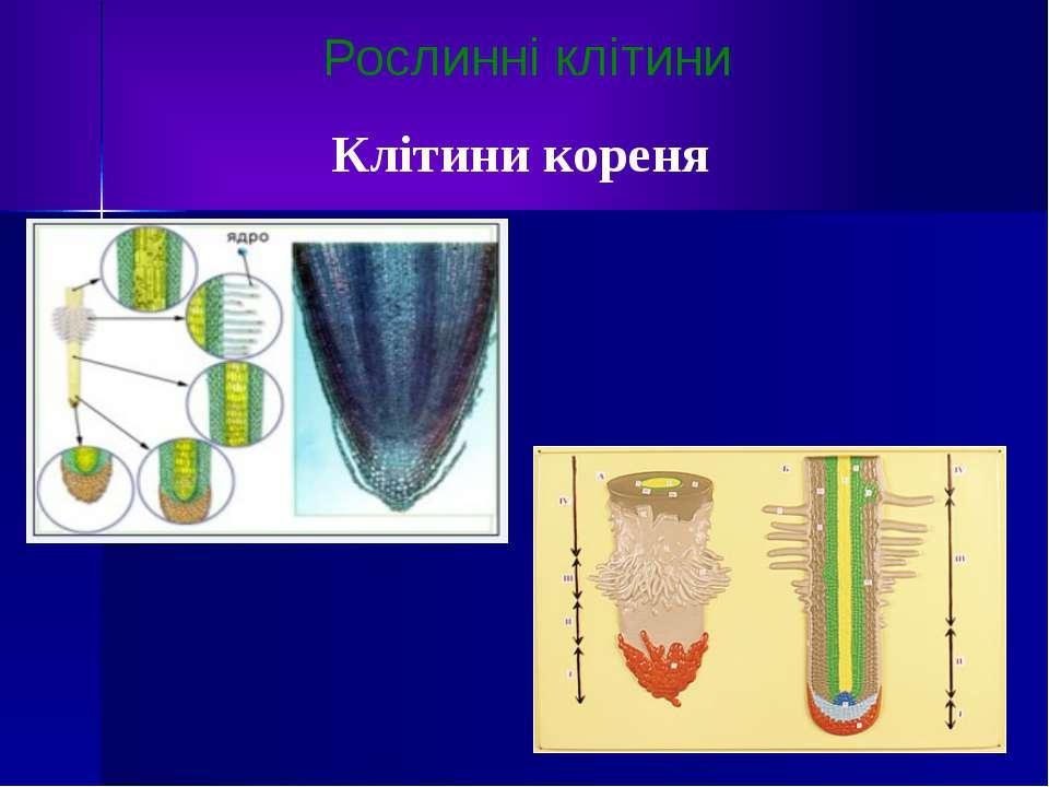 Рослинні клітини Клітини кореня