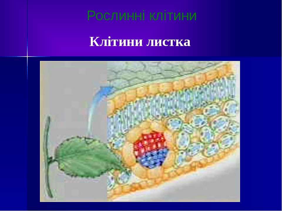 Рослинні клітини Клітини листка