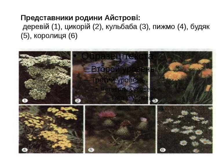 Представники родини Айстрові: деревій (1), цикорій (2), кульбаба (3), пижмо (...
