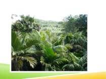 окремі сорти цукрової пальми