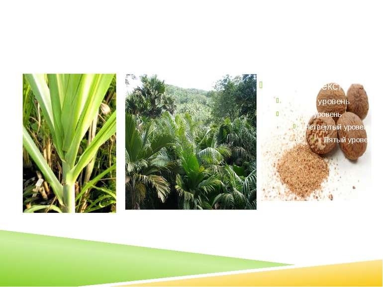 окремі сорти цукрової пальми, окремі сорти цукрової тростини,горіх мускатний