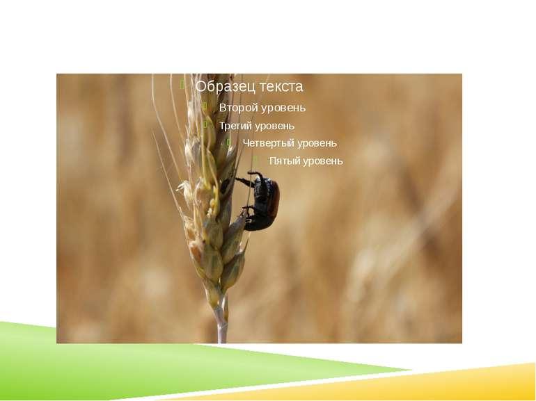кулястозерна пшениця