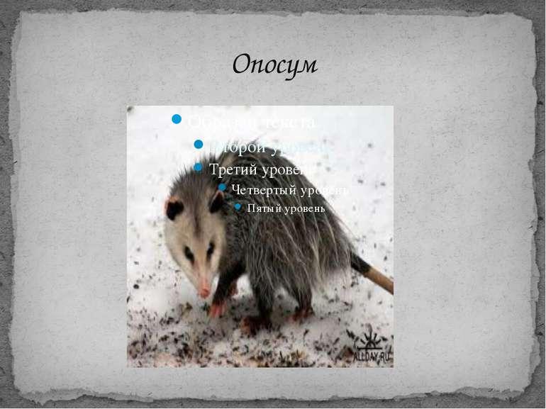 Опосум