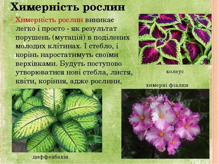 Химерність рослин Химерність рослин виникає легко і просто - як результат пор...