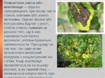 Пожовтіння листя або жовтяниця — вірусне захворювання, при якому листя стають...