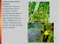 Зелена крапчаста мозаїка Поширена тільки в захищеному грунті. Зовнішні ознаки...