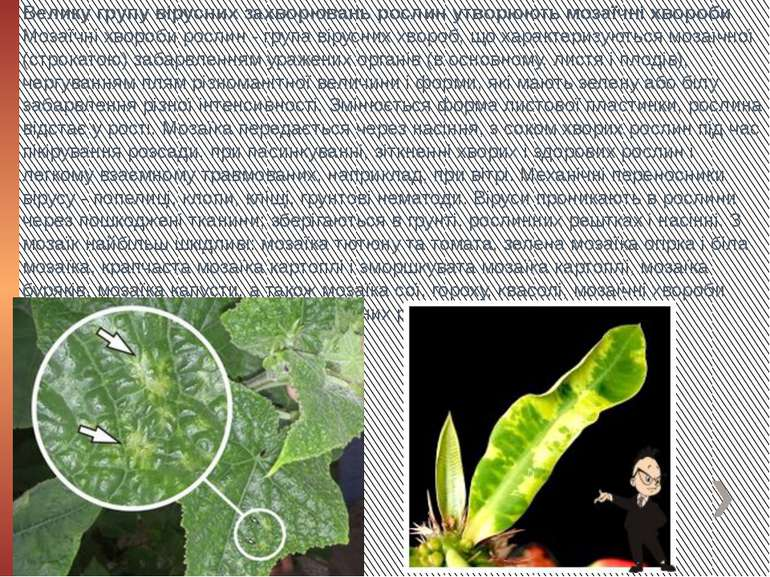 Велику групу вірусних захворювань рослин утворюють мозаїчні хвороби. Мозаїчн...