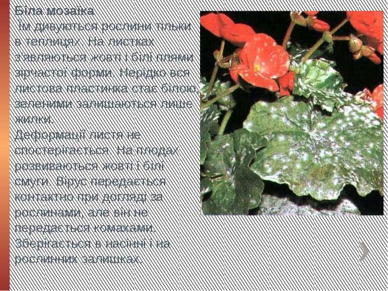 Біла мозаїка Їм дивуються рослини тільки в теплицях. На листках з'являються ...