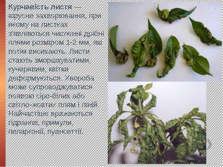 Курчавість листя — вірусне захворювання, при якому на листках з'являються чис...